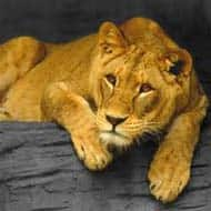 India has 70% of world's lion population: Anil Dave