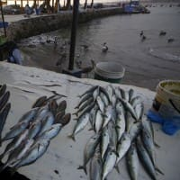 Fish production in HP increases by over 9%