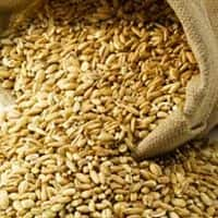 India in biggest wheat import in 5 yrs as rains damage crop