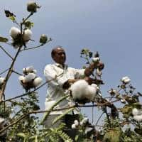 India's cotton planting seen falling to seven-year low