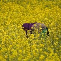 Government panel clears GM mustard but hurdles remain: Sources