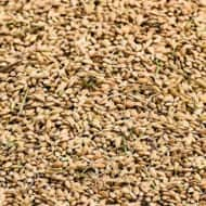 Rice (Oryza sativa) is one of the most important cereal grains in the world,